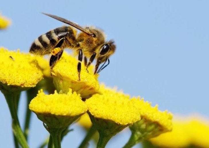 bijenbloemenzaad