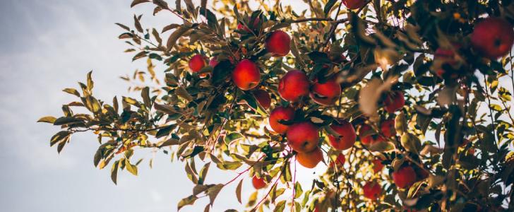 Fuitboom gratis fruit plukken in Gent